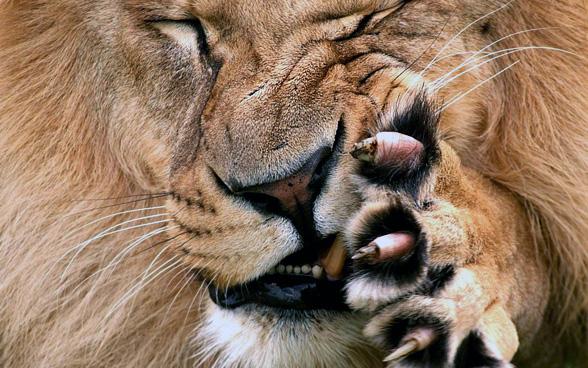 Pazury lwa.