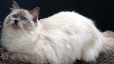 Photo of Ragdoll
