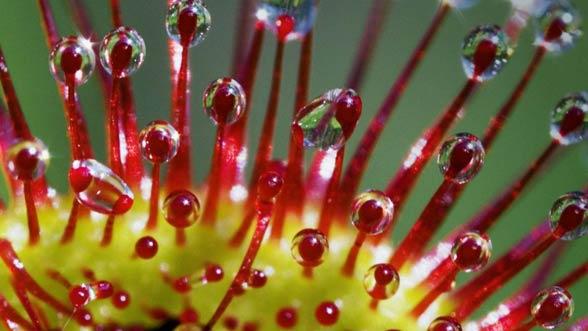 Rosiczka okrągłolistna (Drosera rotundifolia L.)