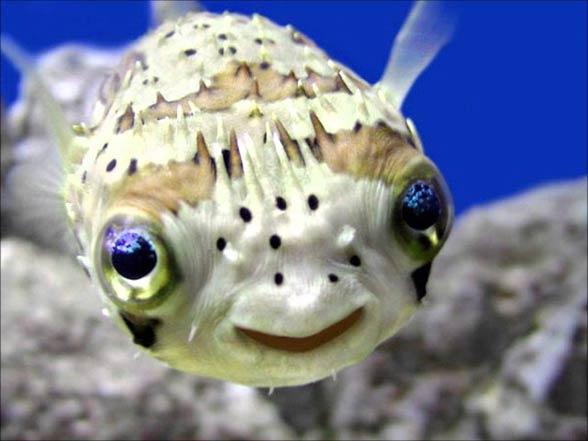 Ryby rozdymkowate, tetrodonowate, kolcobrzuchowate (Tetraodontidae).