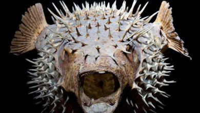 Photo of Ryby rozdymkowate, kolcobrzuchowate, najeżkowate