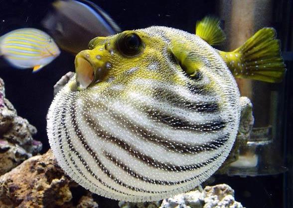 Ryby rozdymkowate, tetrodonowate, kolcobrzuchowate (Tetraodontidae)