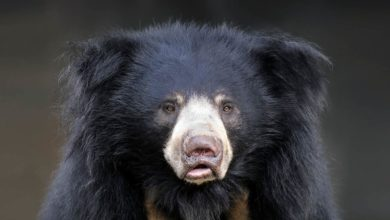 Photo of Wargacz, aswal (Melursus ursinus)