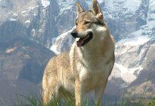 Photo of Wilczak czechosłowacki – pies w wilczej skórze