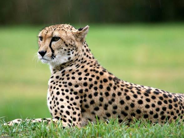 Gepard saharyjski (Acinonyx jubatus hecki)
