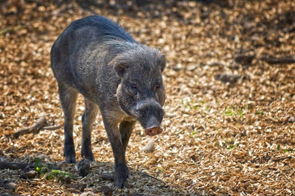 Świnia wisajska (Sus cebifrons)