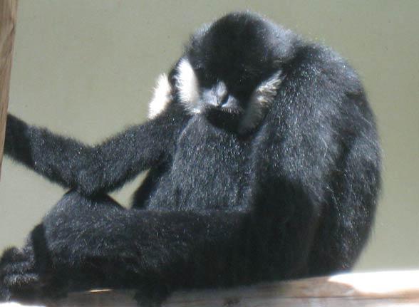 Gibon czarny (Nomascus concolor)