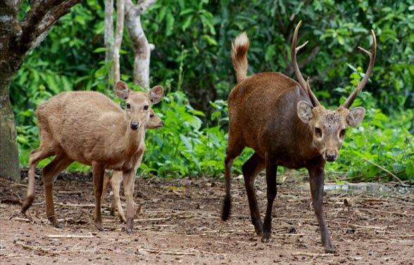 Jeleń baweański, jeleń (jelonek) jawajski (Axis kuhlii)
