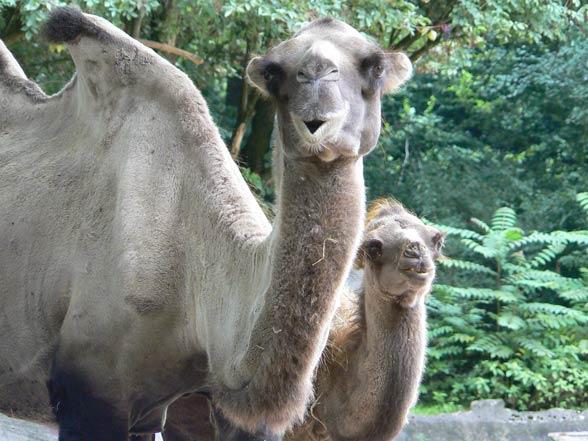 Dziki wielbłąd dwugarbny, baktrian (Camelus ferus)