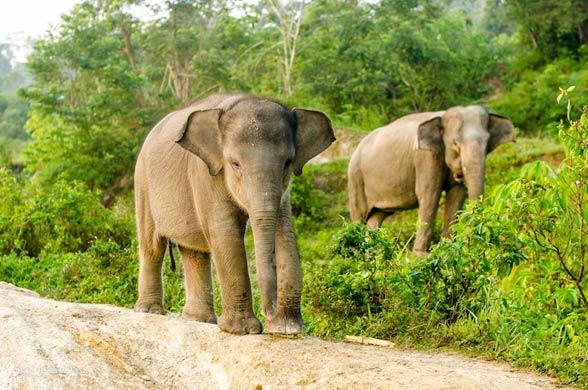 Słoń sumatrzański (Elephas maximus sumatranus)