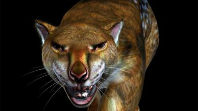 Photo of Lew workowaty (Thylacoleo carnifex)