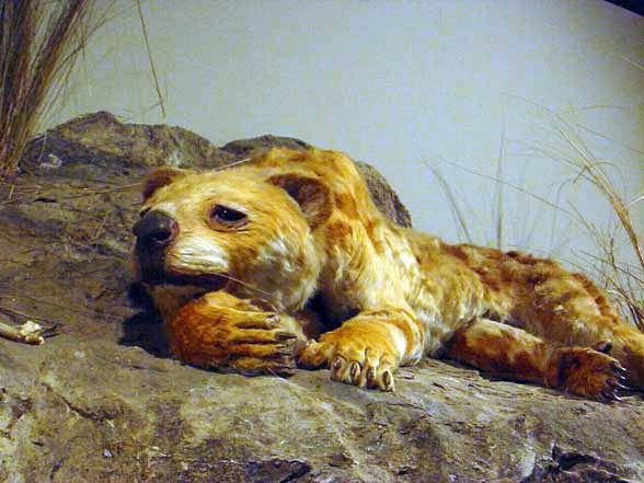 Lew workowaty (Thylacoleo carnifex)