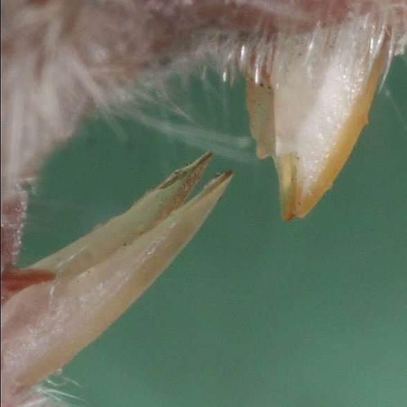 Mysz domowa (Mus musculus)