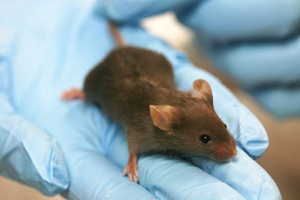 Mysz domowa (Mus musculus).