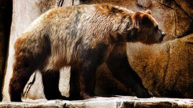 Photo of Niedźwiedź krótkopyski – największy niedźwiedź?
