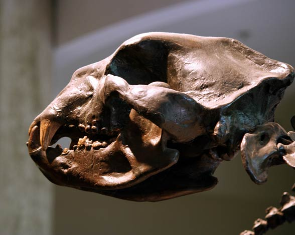 Niedźwiedź krótkopyski (Arctodus simus) - czaszka.