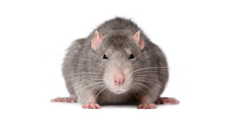 Dinoanimals Pl: Szczur (Rattus)
