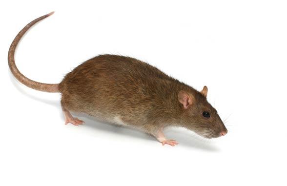 Szczur (Rattus).