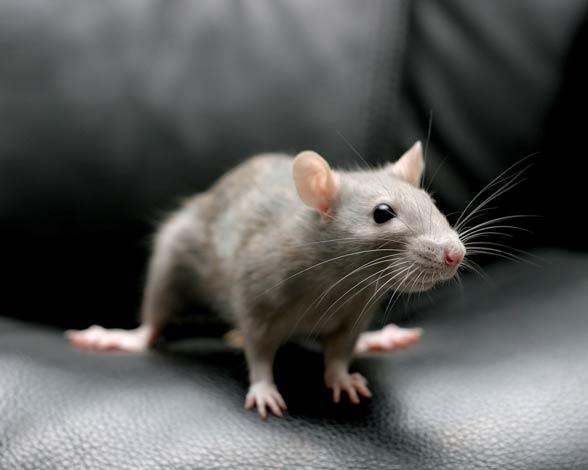 Szczur (Rattus)