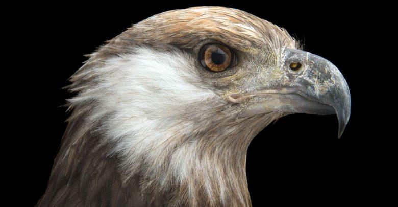 Photo of Bielik madagaskarski (Haliaeetus vociferoides)