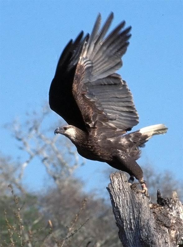 Bielik madagaskarski (Haliaeetus vociferoides).