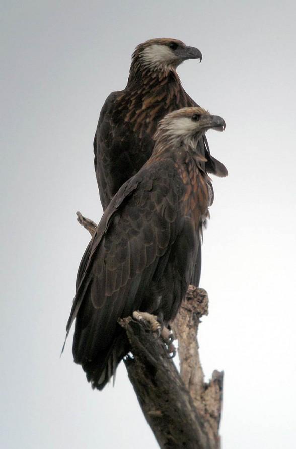 Bielik madagaskarski (Haliaeetus vociferoides)