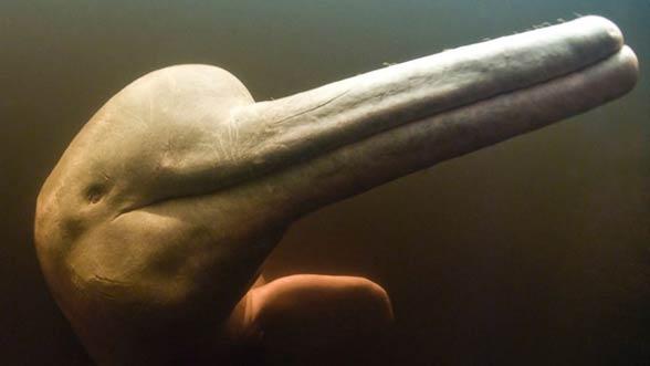 Delfiny słodkowodne (Platanistidae)
