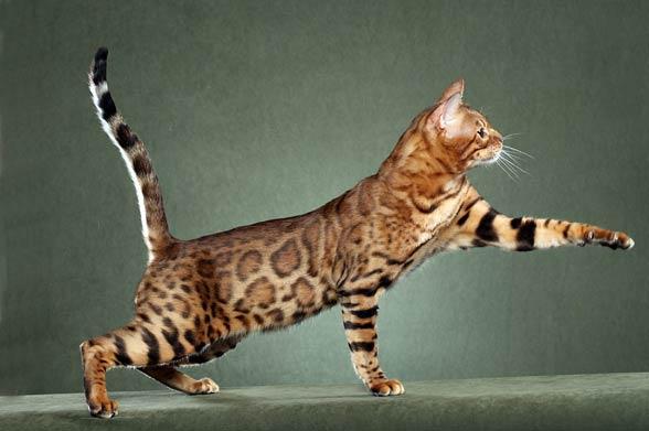 Kot Savannah Krzyżówka Kota I Serwala Dinoanimalspl