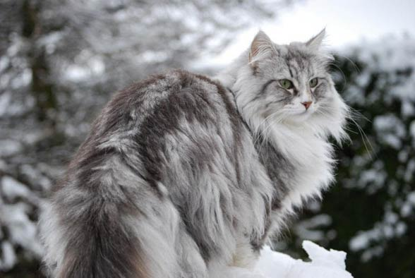 Kot Norweski Leśny Dinoanimalspl