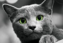 Photo of Kot rosyjski niebieski, maltański