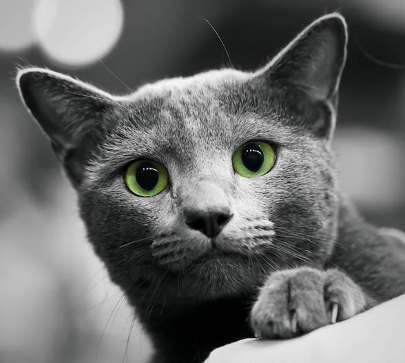 Kot Rosyjski Niebieski Maltański Dinoanimalspl