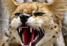 Photo of Kot savannah – krzyżówka kota i serwala