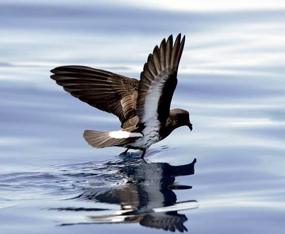 Oceannik maoryski