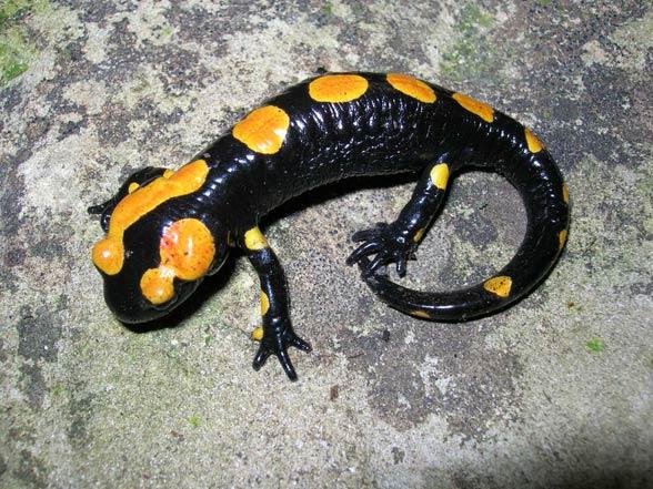 Salamandra algira