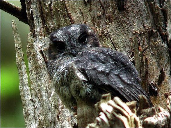 Sownik nowokaledoński (Aegotheles savesi)