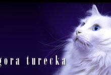 Photo of Angora turecka