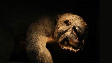 Photo of Diprotodon – największy torbacz wszech czasów