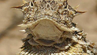 Photo of Frynosoma rogata – jaszczurka tryskająca krwią