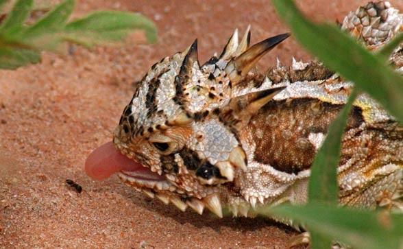 Frynosoma rogata (Phrynosoma cornutum).