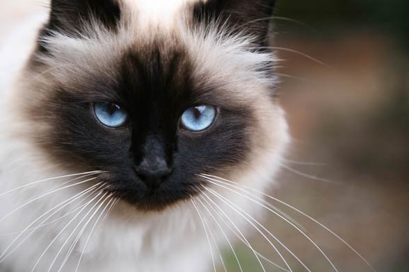 Kot birmański