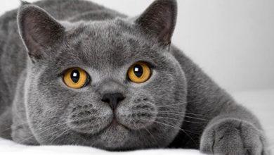 Photo of Kot brytyjski krótkowłosy