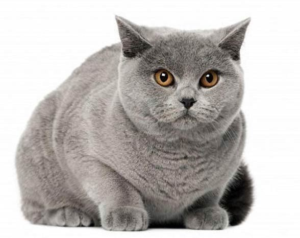 Kot brytyjski krótkowłosy.