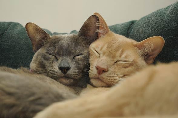 Kot burmski, burmański, Burmese.