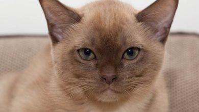 Photo of Kot burmski, burmański