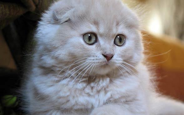 Kot szkocki zwisłouchy, fold