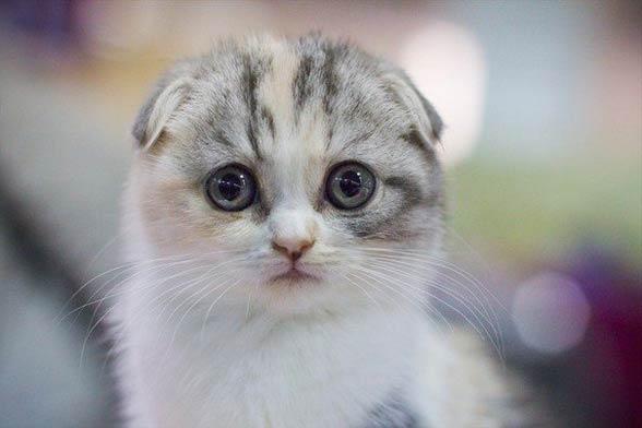Kot Szkocki Zwisłouchy Fold Dinoanimalspl