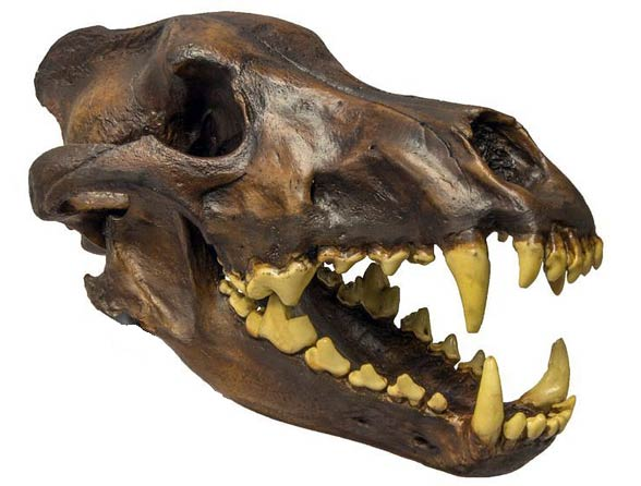 Wilk straszny (Canis dirus)