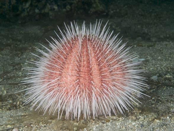 Jeżowce (Echinoidea).