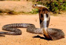 Photo of Kobra indyjska, okularnik indyjski (Naja naja)