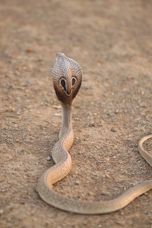 Kobra indyjska, okularnik indyjski (Naja naja).